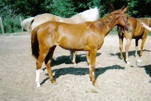 2004_quarab_filly.jpg